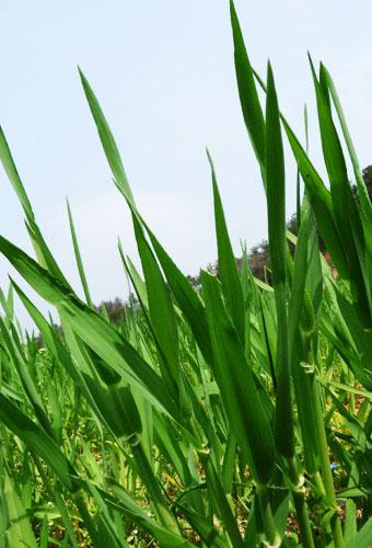 青汁畑 大麦若葉 効果